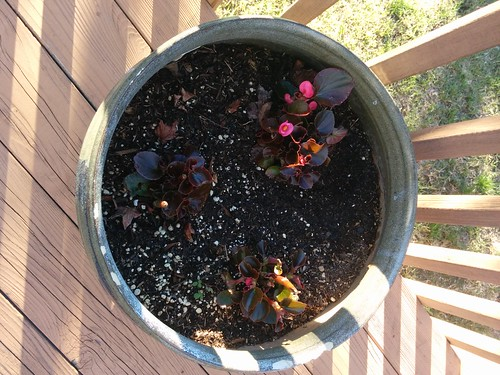 Begonias on the back deck, February 14