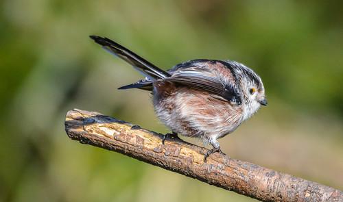nature birds nikon tit f8 longtailedtit lowbarnsnaturereserve sigma150500 nikond7100 hawkdog