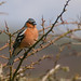 Chaffinch, Mersehead