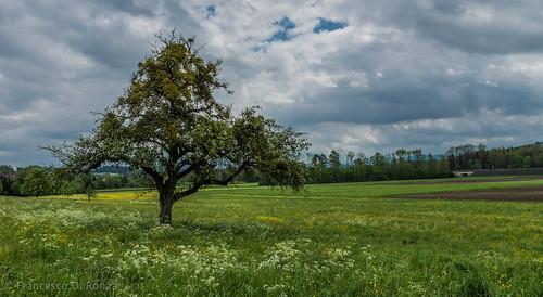 trees plant nature grass landscape schweiz outdoor sony natur pflanze gras skyandclouds landschaft bäume ch sanktgallen imfreien himmelundwolken zuzwil züberwangen slta77 dt1650mmf28ssm