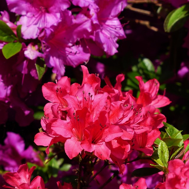 Gent Lente Plantentuin Rhododendron in het vierkant - In Explore op 23-06-2016 # 076