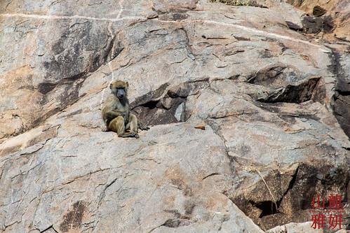 africa tanzania mammal safari baboon tz serengetinationalpark olivebaboon shinyanga papioanubis anubisbaboon seroneraregion tzday03 africanwildcatsexpeditions