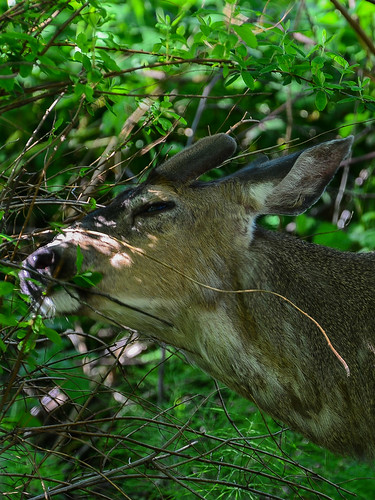 <p><i>Odocoileus hemionus</i>, Cervidae<br /> Maplewood Conservation Area, North Vancouver, British Columbia, Canada<br /> Nikon D5100, 70-300 mm f/4.5-5.6<br /> May 5, 2013</p>