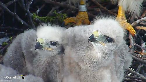20130510-nestlings watching