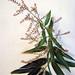 Small photo of Aloysia citriodora or Aloysia triphylla