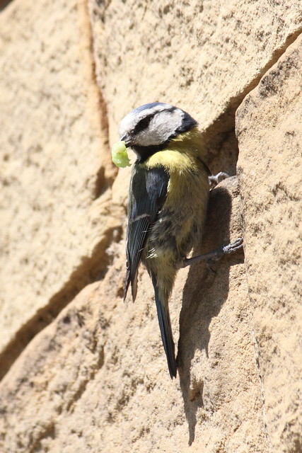 Bluetit with tasty caterpillar