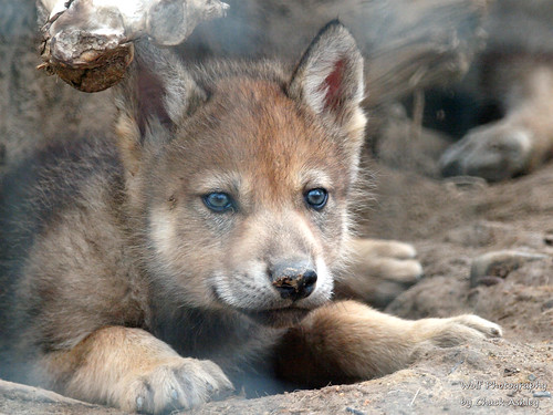 2013-06-15 Nahanni and her pups week 6-W 209 by puckster55pics