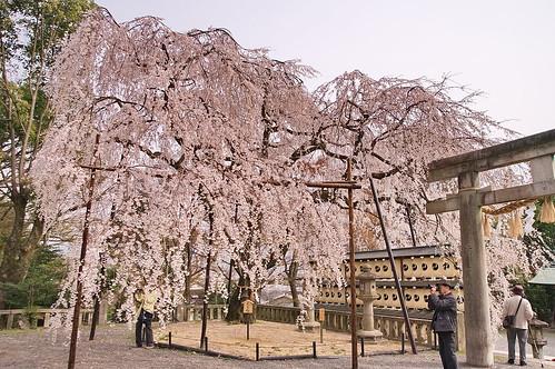 【写真】桜 : 大石神社