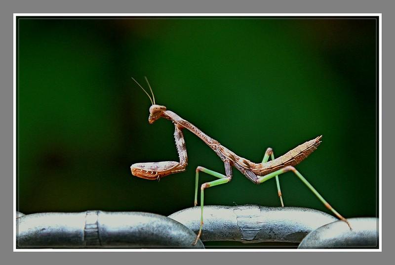 小螳螂_图1-3