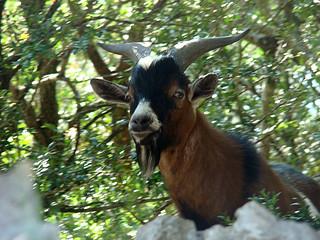 129 verwilderde geiten
