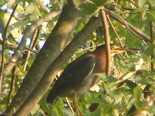 Green Heron Richmond Estates Shawano WI 8 24 2013