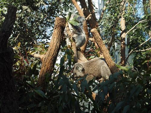 P9146533 WILD LIFE SYDNEY ZOO シドニー動物園