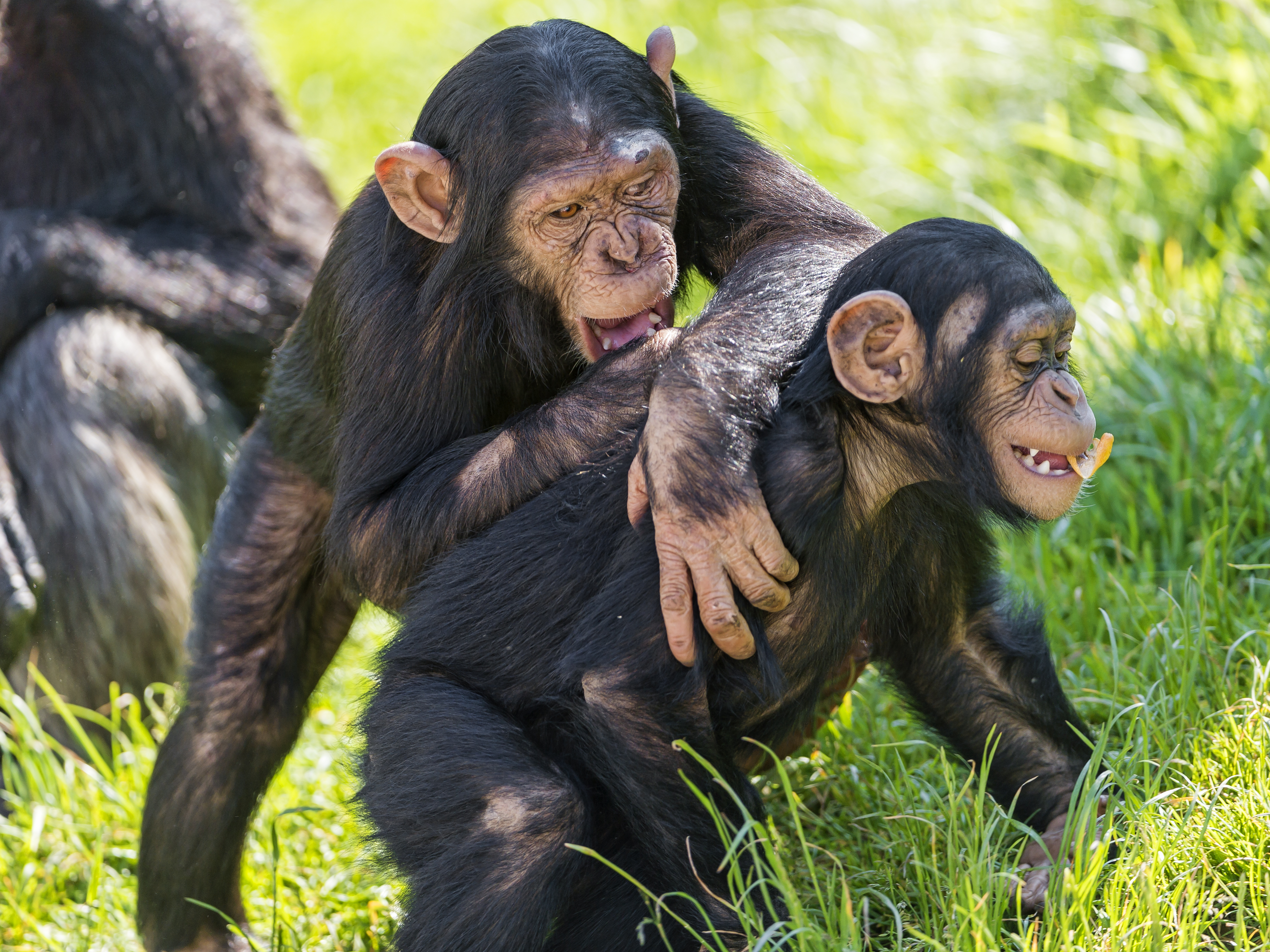Two Young Chimpanzee Playing Flickr Photo Sharing