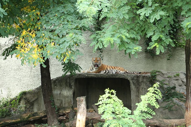 天王寺動物園のトラ1