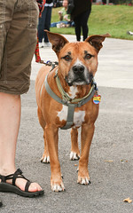 dog breed(1.0), animal(1.0), dog(1.0), pet(1.0), mammal(1.0), american staffordshire terrier(1.0), american pit bull terrier(1.0),