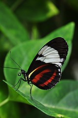 Grinning Heliconian (Heliconius cydno)