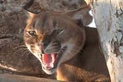 cougar, animal, mammal, fauna, cat-like mammal, close-up, whiskers, wildlife,