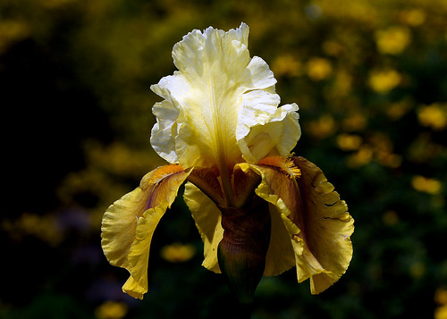 Bayberry Candle Iris.