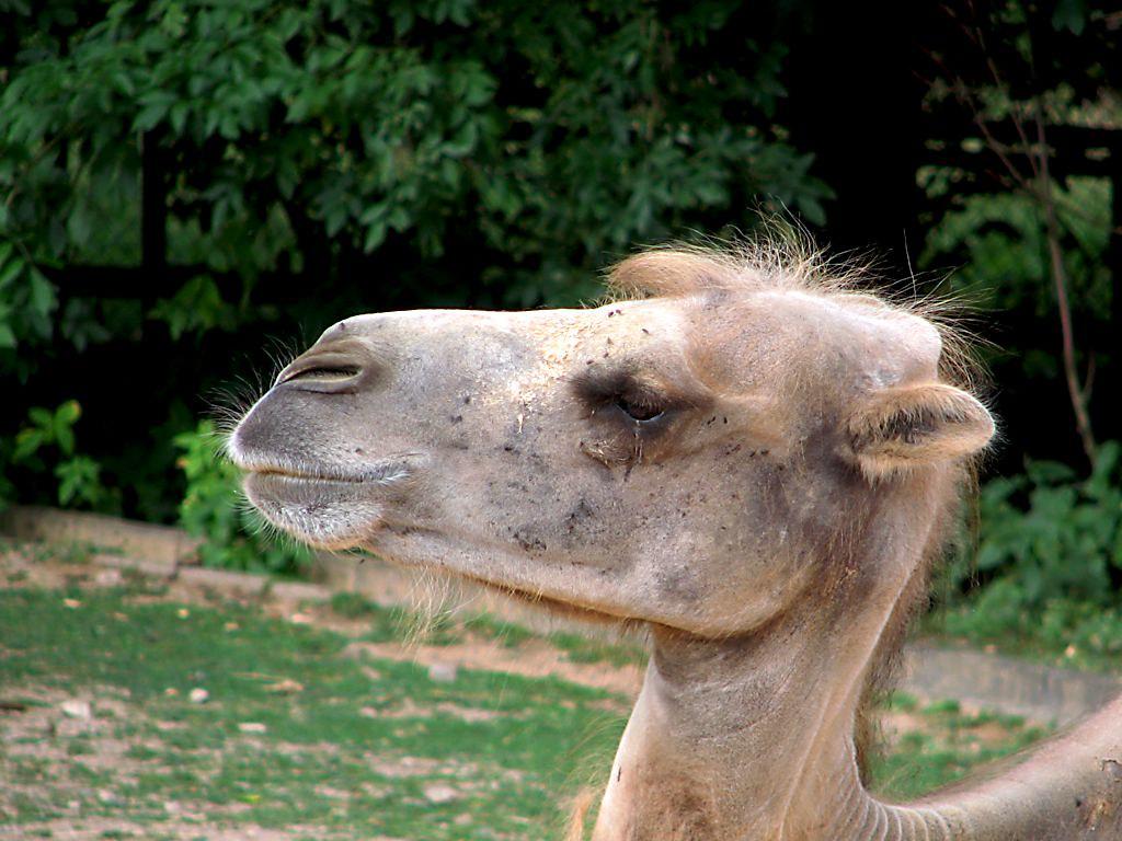 Kamel im Neunkircher Zoo