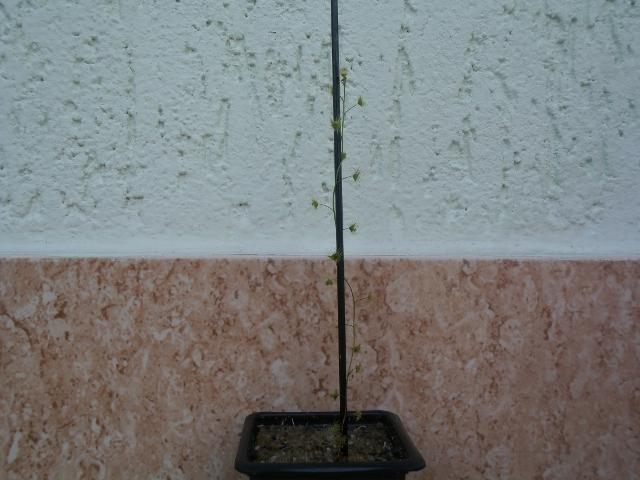 Minha pequena Drosera tuberosa 10803056025_64bf6b9bc0_o