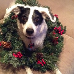 'Tis the season for holiday decorations! #grumblepup #dogwreathing