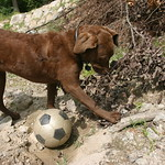 Dog and soccer ball