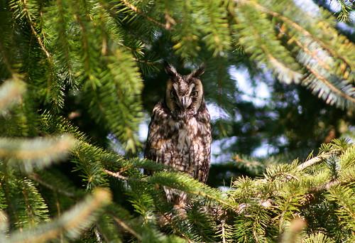 california bird humboldt long wildlife birding owl prey arcata roosting roost eared longeared asiootus