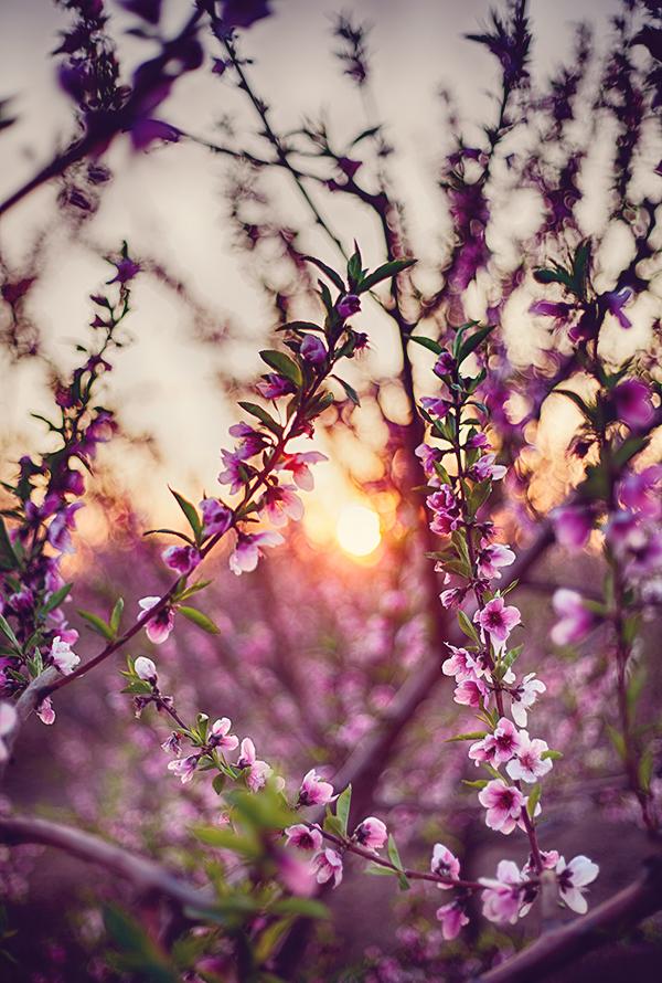 שקיעה, מטע אפרסקים ,אביב, פריחת האפרסק