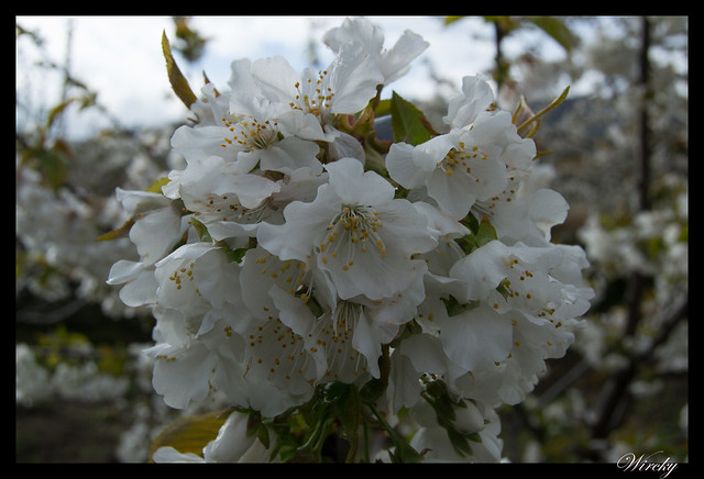 Valle del Jerte actividades - Cerezo en flor