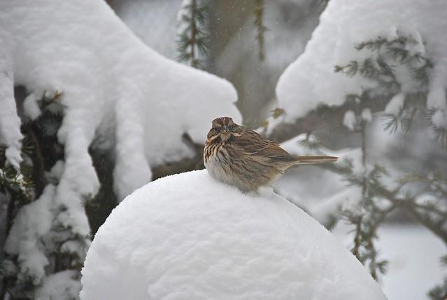 ineedathis - Songbird in the snow!
