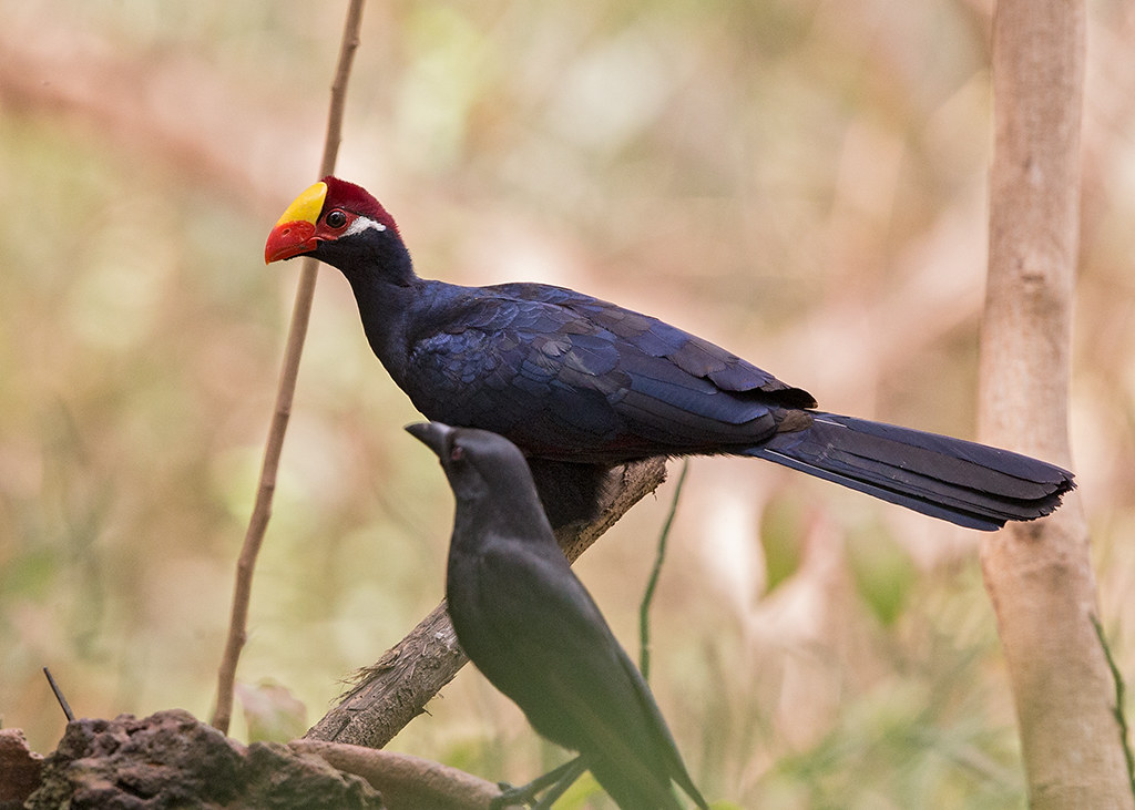 Violet Turaco Gambia