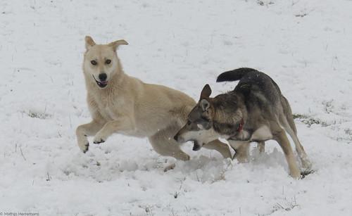 Snowy en Yuma aan het spelen