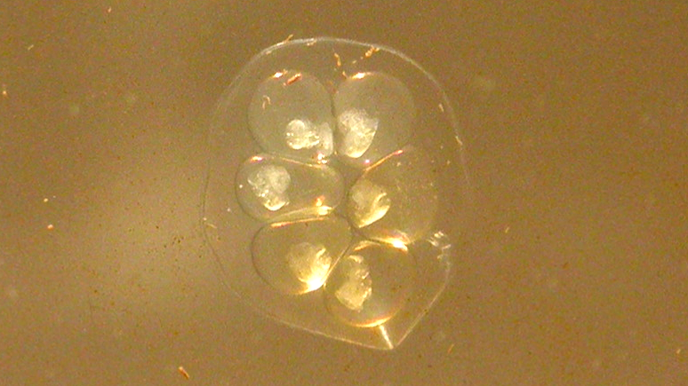eggs of Helisoma anceps
