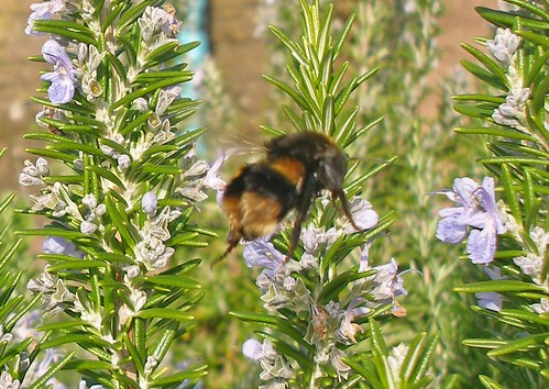 bumblebee queen on rosemary