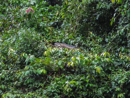 Tortuguero: un gros iguane