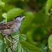Golden-crowned Sparrow 2 by jamintaylor