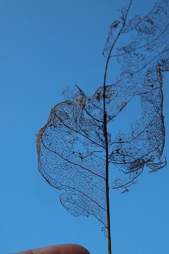 overwintered leaf