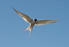 Birds seen in Iceland