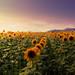 Sunflower Field by Emi Fujimoto
