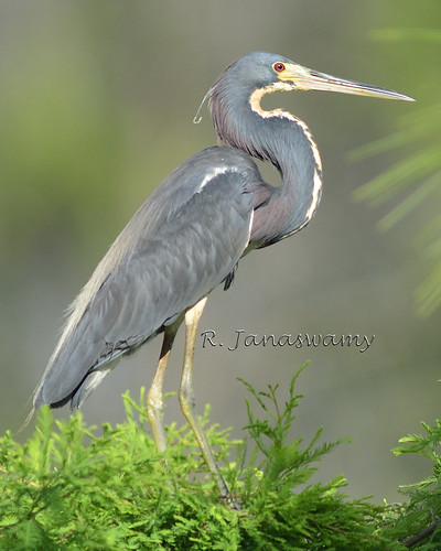 Tri-colored Heron, Orlando, FL by Janaswamy