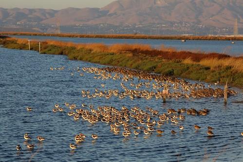 Baylands Flocks