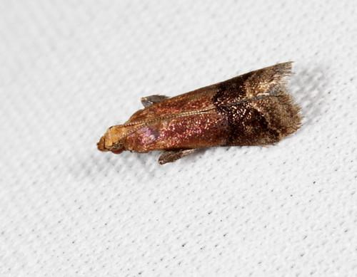 insect nc moth july northcarolina lepidoptera fieldtrip pyralidae coastalplain eol bmna phycitinae eulogia canonefs60mmf28macrousm medocmountain broadbandedeulogia eulogiaochrifrontella medoc20130710 taxonomy:binomial=eulogiaochrifrontella