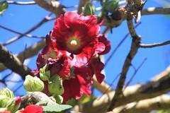 Rose trémière dans les arbres