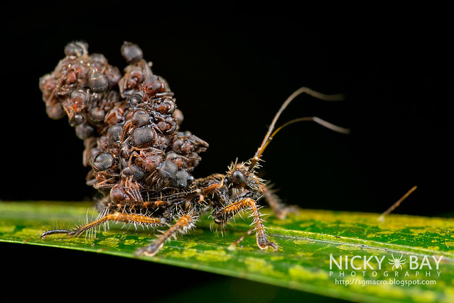 Ant-Snatching Assassin Bug (Acanthaspis sp.) - DSC_0739
