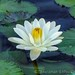 water lily by TBoard