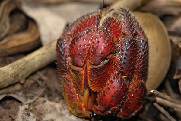 i-coenobita-voir-spinosus-caledonie-hienghene-barrault