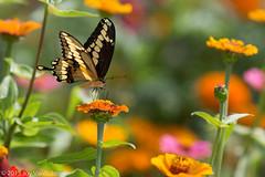 223/365 - Butterfly