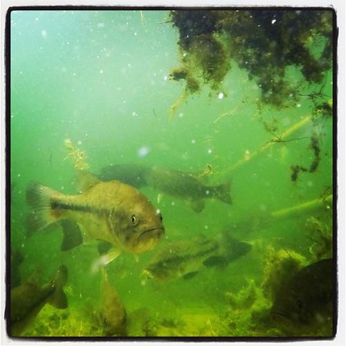 Exploring the fish of the #mississippiriver. #explorewithdean #wisconsin #wildlife #whereintheworldisdean #rivers #ruralamerica #travel #photography #america #allshots_ #adventure #fun #hope #canoe #beauty #missriverdean