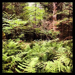 A break in the wall and a wide path of ferns. I wonder.....  Morning walk #9 #ilovethecabin