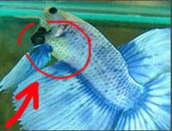 [IMG]  [Kinh nghiệm - Chia sẻ] Liều lượng và các loại thức ăn để nuôi cá betta. 9667732041 e612de898f o